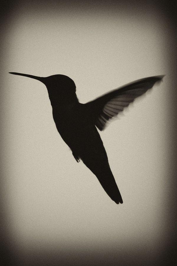 "500px / Photo ""Hummingbird Silhouette"" by Jeff Mackey"