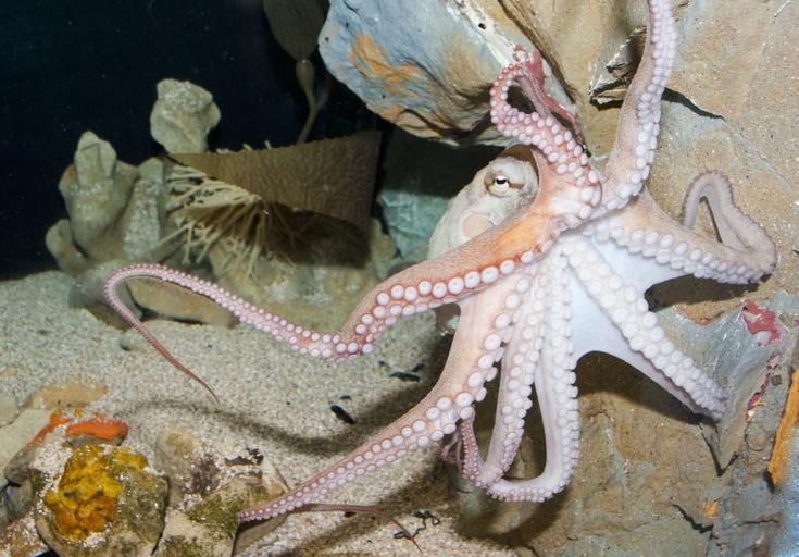 15 best octopussy odyssey images on pinterest octopus for Octopus fish tank