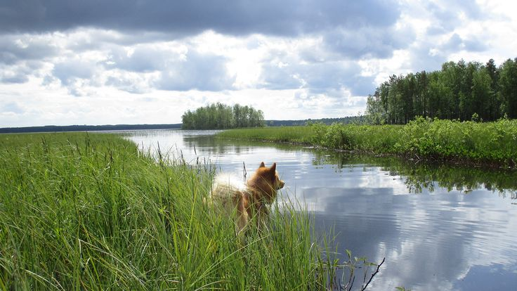 Go to swim or not, dog thinking Viitasaari, Finland Sari Koponen /Kesäkuvat /yle.fi