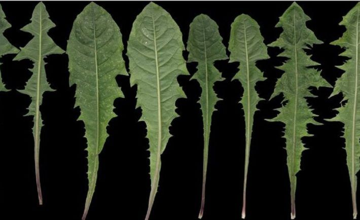Často vnímáme pampelišku jako plevel, která jen překáží v zahradě. Možná budete překvapeni, ale v mnoha zemích pampelišku nazývají žlutý ženšen, protože má podobné užitečné vlastnosti jako tento kořen života. Pampelišky si pěstují na velkých plantážích a později je používají pro různé léčivé a kosmetické účely. Saláty, med, léčivé víno a nejen to si z …