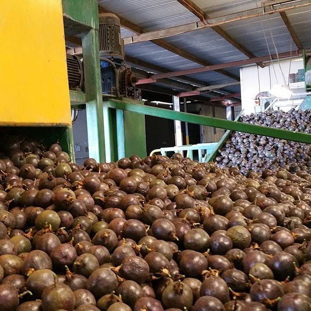 A sea of passionfruit at our packing shed on Spencer Ranch in Wallaville, Queensland. #passionfruit #packing #freshproduce #packshed #farming #aussiefarming #aussiepassionfruit #bundaberg #queensland #carterandspencer