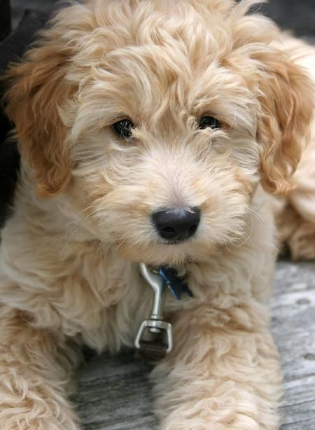 goldendoodle puppies | Atlas the Goldendoodle | Puppies | Daily Puppy