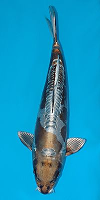 Best 25 Dragon Koi Fish Ideas On Pinterest Dragon