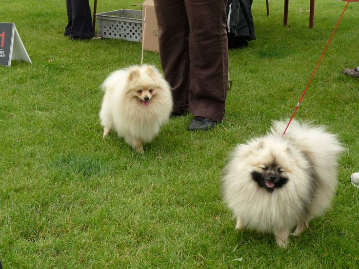 How To Train Indian Spitz Dog
