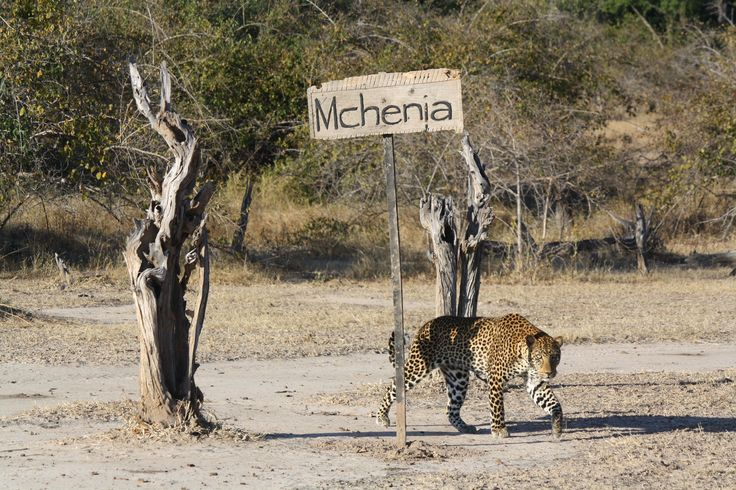 An unusual visitor drops by at Mchenja Camp.  #Africa #Zambia #Safari #Travel #Bush #Relax #Mchenja #Camp #leopard