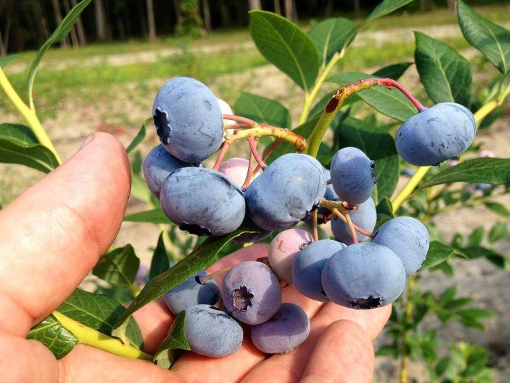 Premium Blueberry Bushes for Sale - DiMeo Blueberry Farms & Blueberry Plants Garden Center
