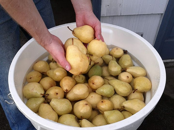 """""""How to make"""" Hard Cider Recipe: This one is using pears, but you can substitute pears with: apples (apple cider/juice), cherries; any fruit that has fermentable sugar. NOTE: If you use any """"bottled"""" or """"store bought"""" juices you must make sure that they have no preservatives in the ingredients (ascorbic acid which is just vitamin C is ok)."""