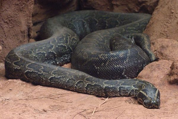 The African Rock Python is the largest snake in Africa and is among the 6 largest snakes in the world.