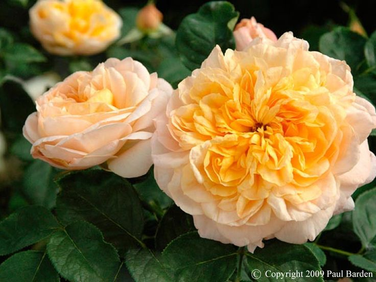 pauls care a rose for Natural rose care tips paul zimmerman, garden designer, author, and rose expert, offers shares tips for natural rose care.