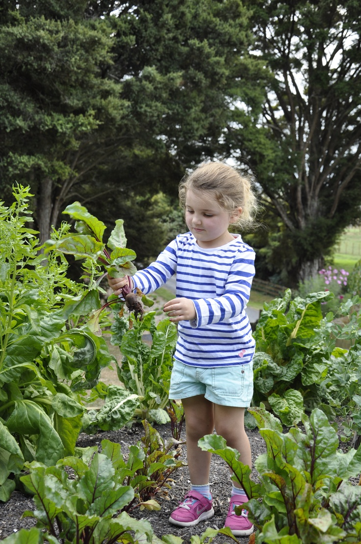Harvesting beetroot from the edible playscape.  What a great idea!