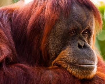 Chimpancés y orangutanes también sufren la crisis de la mediana edad.