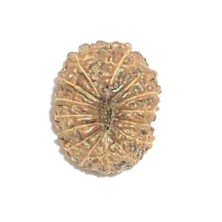 14 mukhi Java rudraksha
