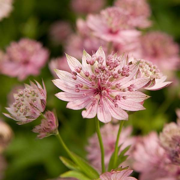 Astrance astrantia major buckland vivaces pinterest for Belle plante exterieur