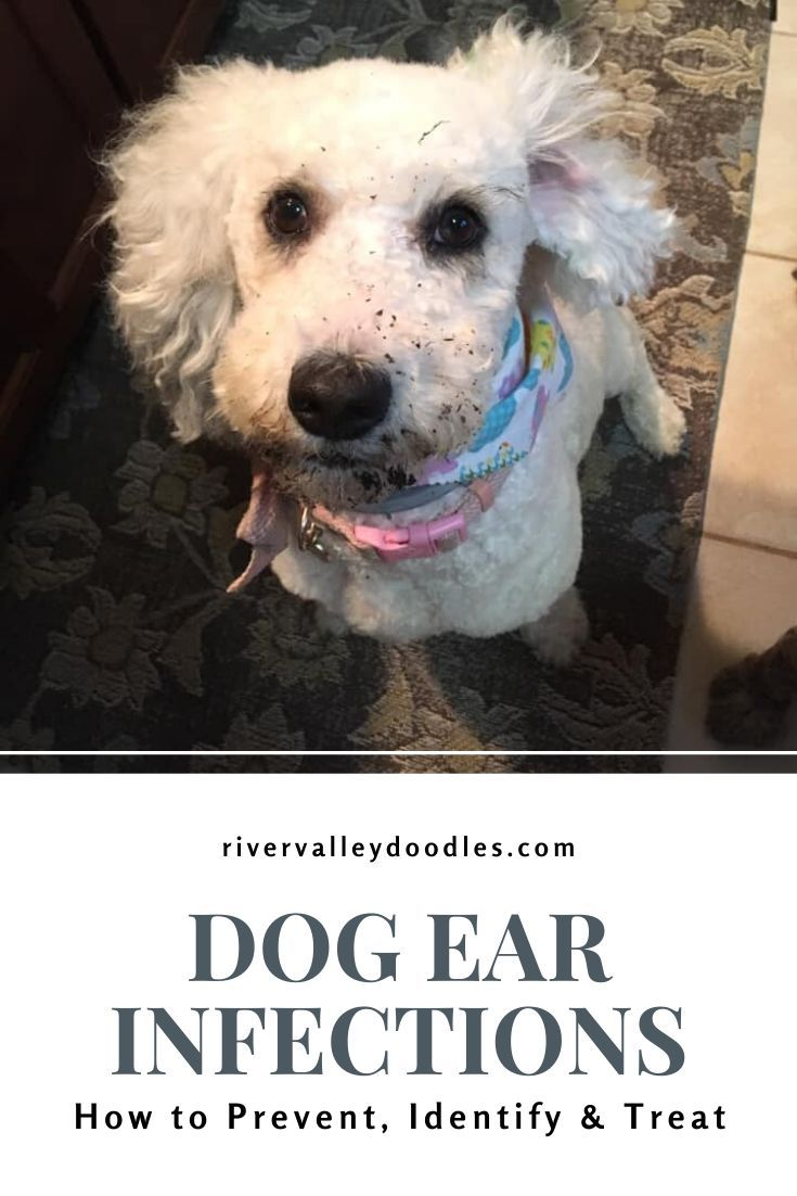 Dog Ear Infections How To Prevent Identify And Treat Use