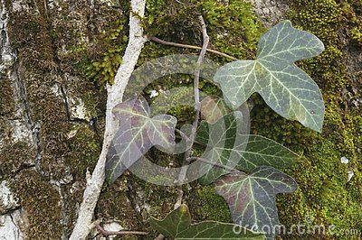 Ivy and muss  raised on the tree bark
