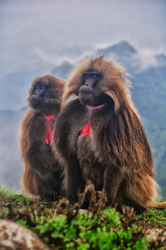 Found only in Ethiopia, Gelada Baboons are the last surviving species of ancient grazing primates that were once numerous. They are threatened today, surviving in isolated areas in Ethiopia. They are the most terrestrial of primates, aside from humans.