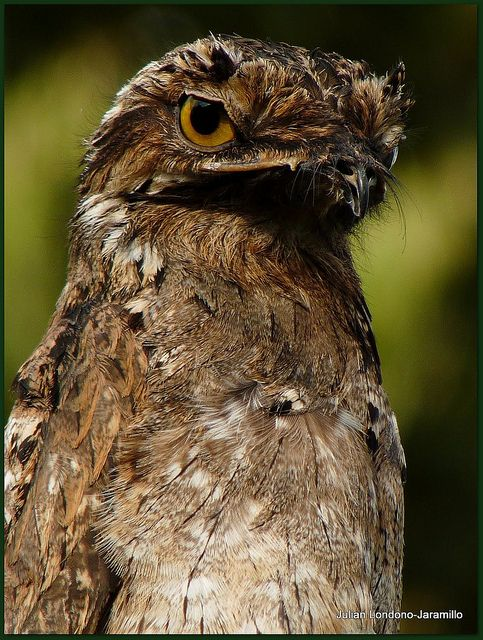 Lesser Potoo by julian londono, via Flickr>>> would make an awesome comical villain