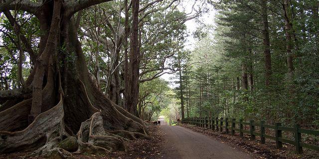 Moreton Bay Fig on Norfolk Island | Flickr - Photo Sharing!