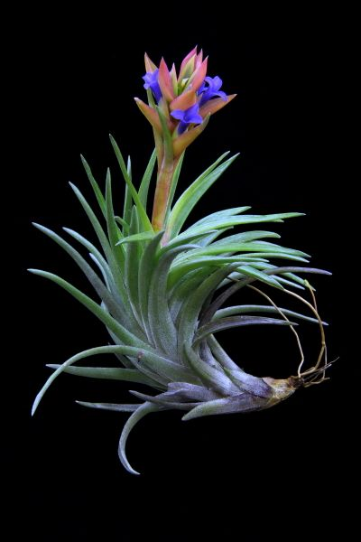 "Tillandsia neglecta-""Red Giant"", Plant Oddities"