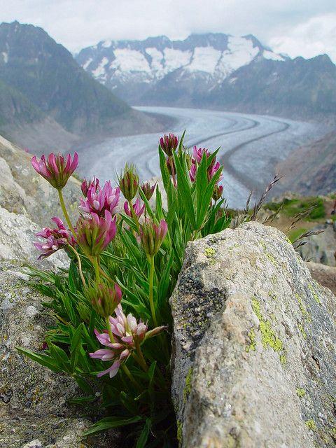 bloemen in de zwitserse alpen