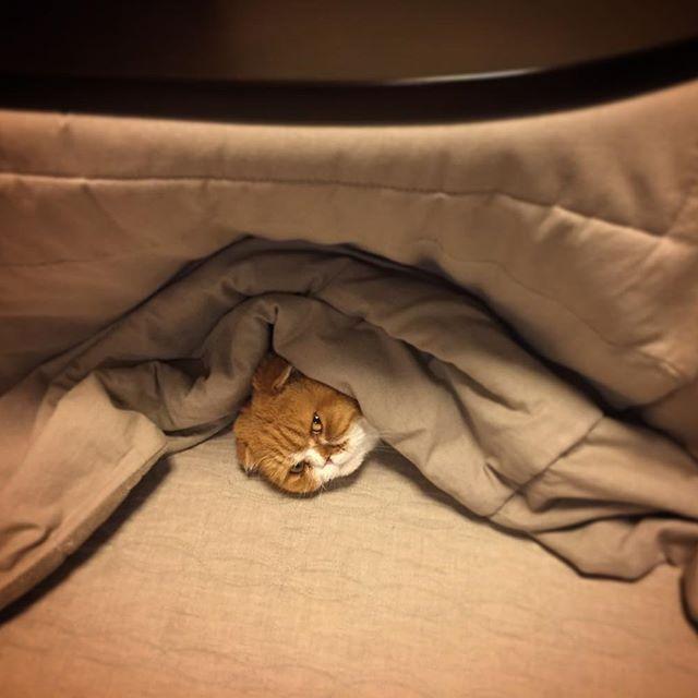 おやすみなさい good night  #たま#スコ#猫#cat#cats#tama#instacat#catlover#cutecat  #にゃんすたぐらむ#ふわもこ部#neko#kawaii #ハチワレ#instagallery#beautiful#friend #catstagram#catlife#ilovemycat#茶トラ #にゃんこ#ねこ部#catsofinstagram#愛猫 #こたつむり