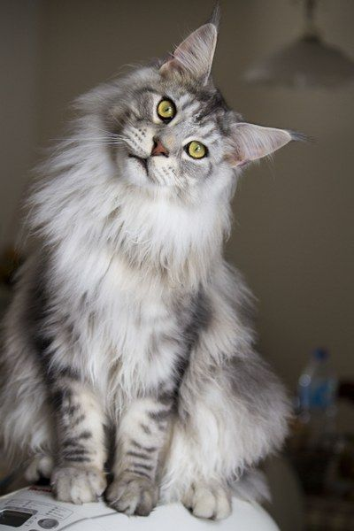 If I was gonna get another cat, I'd definitely get a Maine coon.