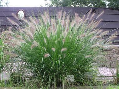 Siergras Pennisetum Alopecuroides Woodside