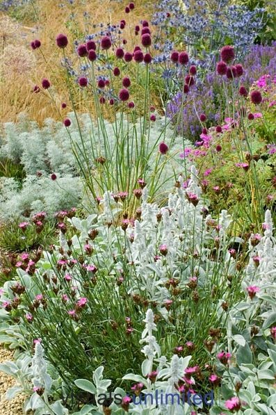 Plant combination: Allium sphaerocephalon met Stachys byzantina en Dianthus carthusianorum
