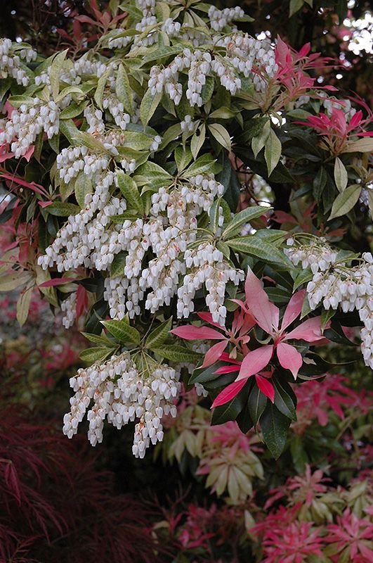 Valley Fire Japanese Pieris (Pieris japonica 'Valley Fire') at Connon Nurseries CBV