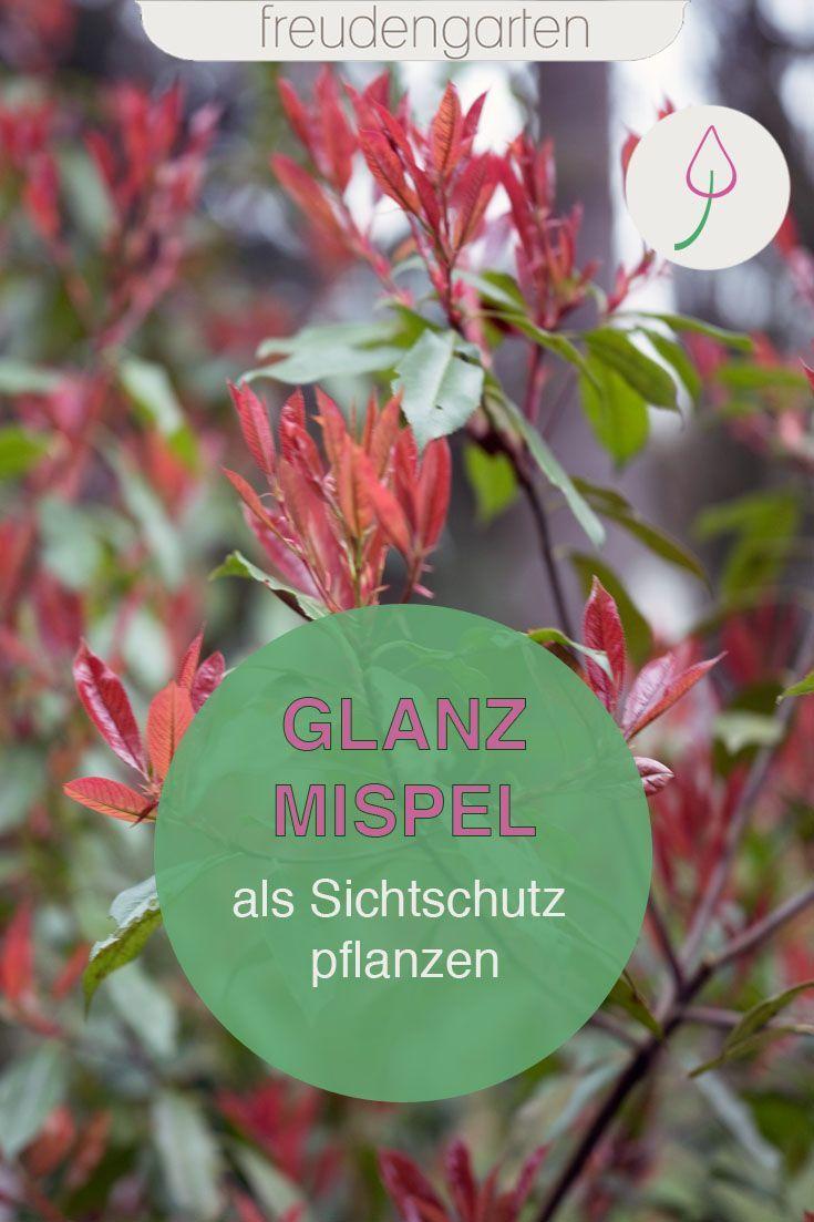 Glanzmispel Pflanzen Und Pflegen In 2020 Pflanzen Mispel