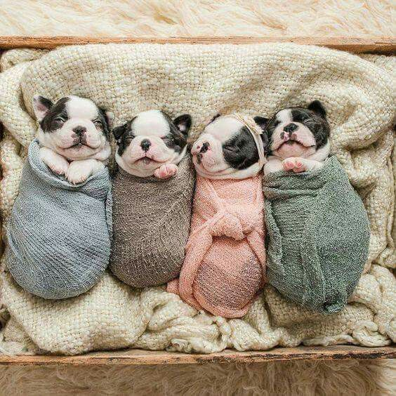 French Bulldog Puppies http://www.poochportal.com/