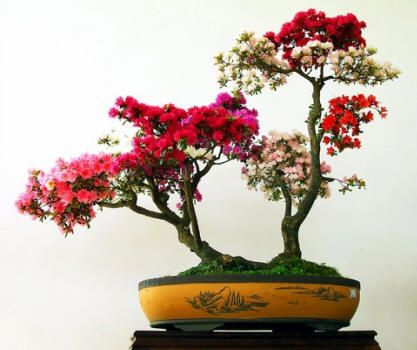 25 Best Ideas About Types Of Bonsai Trees On Pinterest