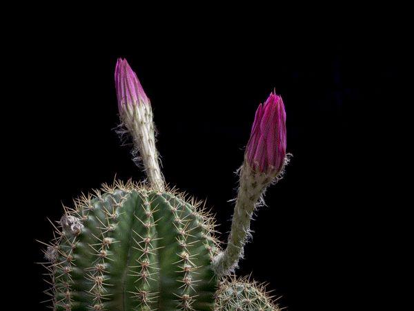 "Cactus Flower animated bloOm! purple, by photographer Greg Krehel on National Geo 2015-07 ""Mother Nature's Fireworks"""