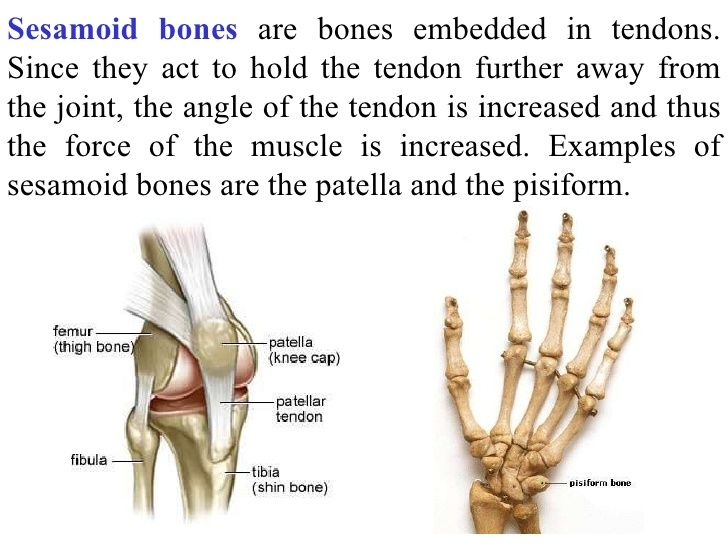 sesamoid bones in the human body - Google Search