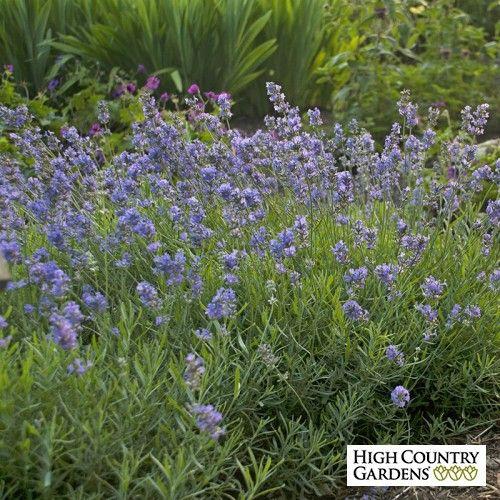 Lavandula angustifolia Blue Cushion Photo Courtesy of Walter's Gardens Inc.
