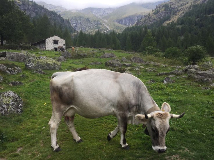 Italian Cows in the Valsesia collection of valleys in the Vercelli province.