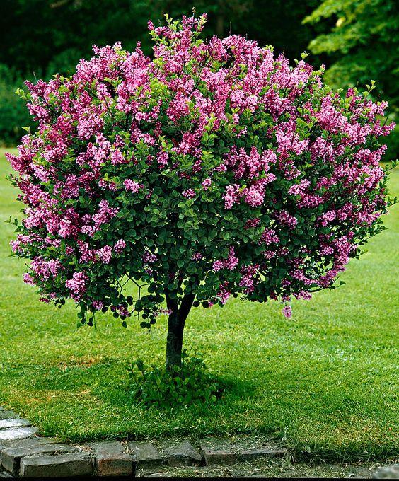 Lilas nain greffé sur tige | Arbustes à empoter. Idée pour l'entrée (patio). Hauteur de floraison pour celui-ci : 150 cm. Fleurit au printemps ou en été selon la race. #tree