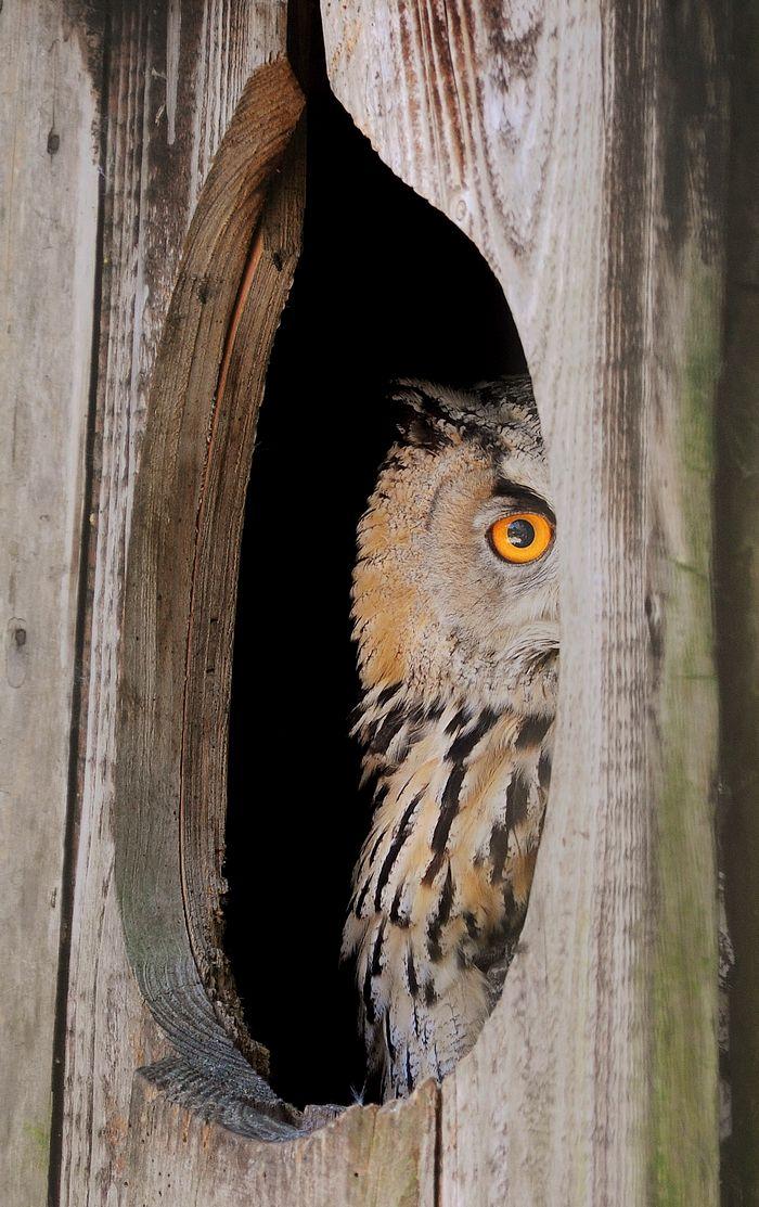 "mokacahuete: "" Grand-duc d'Amérique - Grand-duc de Virginie. Bubo virginianus (Gmelin, 1788) : - Grand-duc d'Amérique - Grand-duc de Virginie ; - Great horned owl - Tiger owl ; - Búho cornudo - Búho americano - Búho real ; - Corujão-da-virgínia -..."