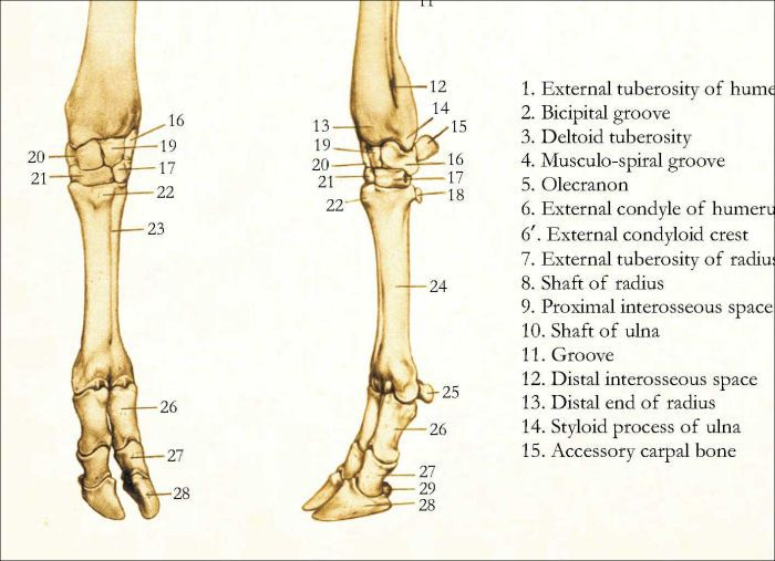 Cow Skeletal Anatomy Poster