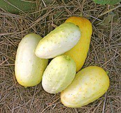 Salladsgurka ´Boothby's Blonde´ Knubbig, gräddvit med små svarta taggar. 7-10 cm långa gulnande frukter. Smakar gott även när de börjar mogna. Goda knapriga frön. Odlad i minst 5 generationer av familjen Boothby i Livermore, USA. Utv.-tid: 53 dgr. Eko.