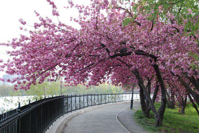 Google Image Result For Https Www Centralpark Com Downloads 1177 Download Cherry Blossom Tree S In B Japanese Garden Plants Blossom Trees Cherry Blossom Tree