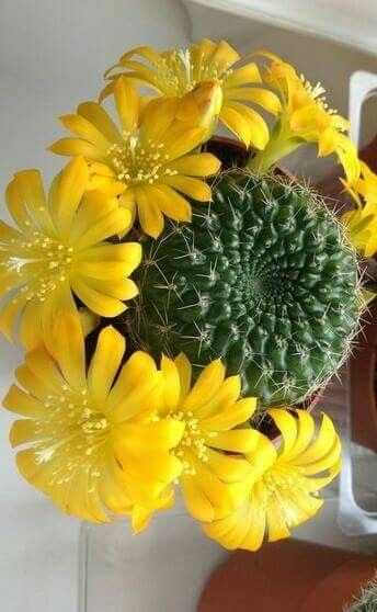 Huge blooms from one small cactus!