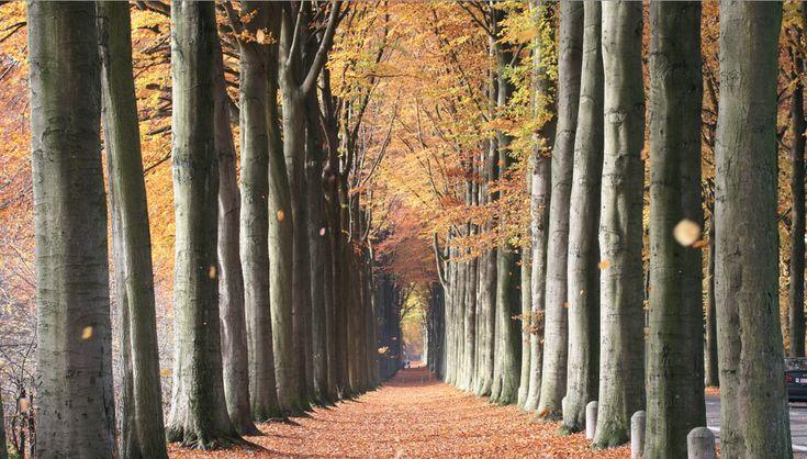 European Beech Trees in Mariemont, Belgium: