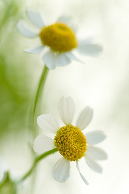 daisies...definitely one of my favorites but can't seem to get them to grow at my house.