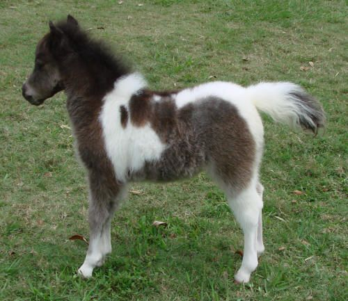 miniature horses for sale -  page 198