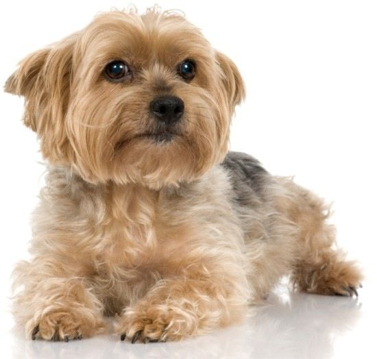 Silky yorkie terrier...Oh my goodness, this baby looks just like our silky Winston!