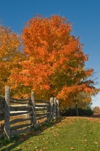 How to Plant Sugar Maple Trees   - we planted this tree in town and want to plant at our new home