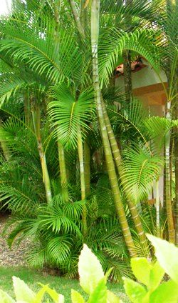 The areca palm is beautiful tree with feathery leaves is mostly cultivated as a house plant. See what they look like and how to grow them.