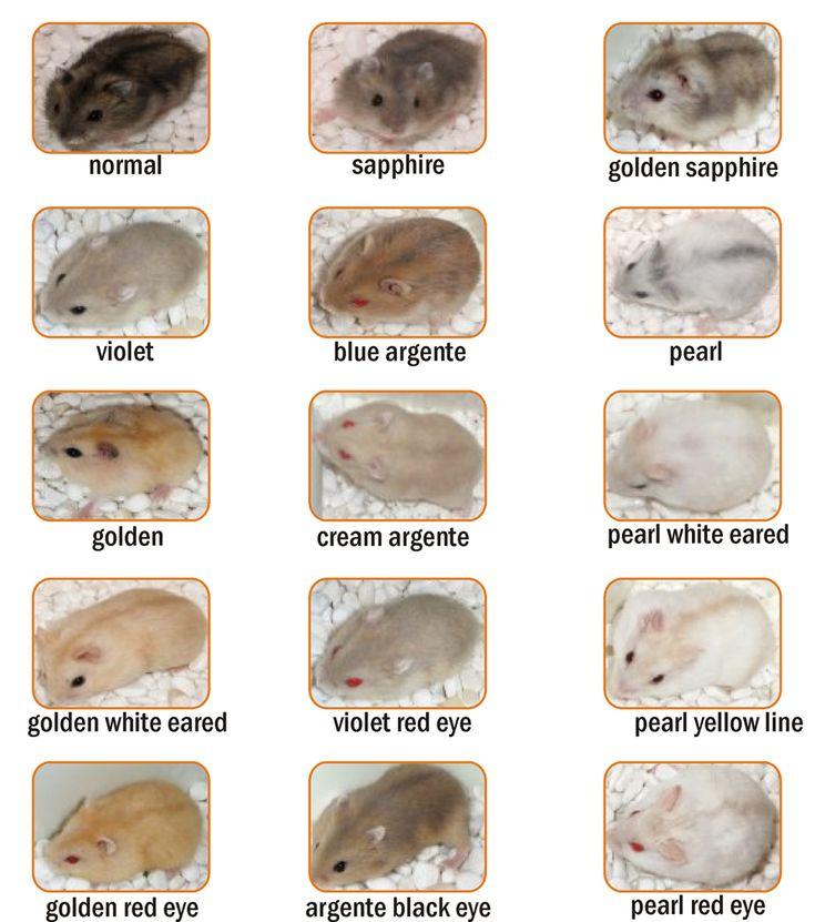 Winter White Hamster Colors Cara memelihara hamster