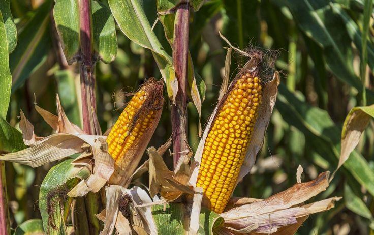Không chỉ áp dụng những loại máy móc hiện đại hoặc những công nghệ sinh học tiên tiến mà bây giờ công ty bán hạt giống và hóa chất nông nghiệp Monsanto, Mỹ (đã được Bayer mua lại) còn muốn áp dụng trí...